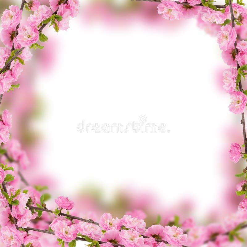 Flores frescas de la almendra en fondo rosado. fotos de archivo libres de regalías