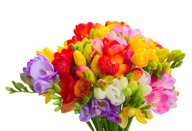 Flores frescas de la fresia fotografía de archivo
