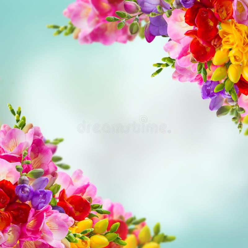 Flores frescas de la fresia imágenes de archivo libres de regalías