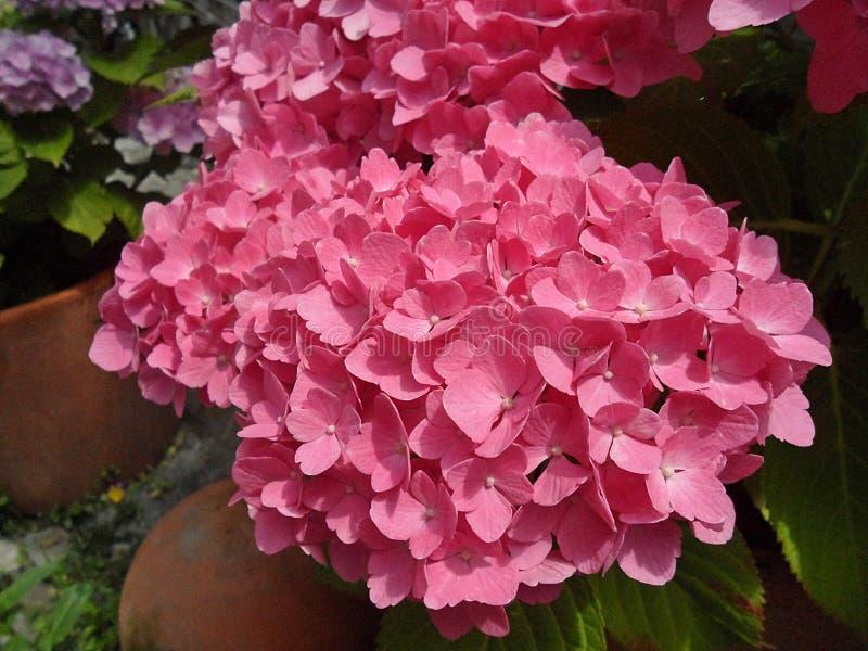 Download Flores Frescas De La Hortensia Del Rosa Del Flor Foto de archivo - Imagen de atractivo, elegante: 42442322