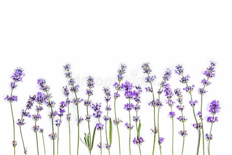 Flores frescas de la lavanda en un fondo blanco Las flores de la lavanda imitan para arriba Copie el espacio imagen de archivo libre de regalías