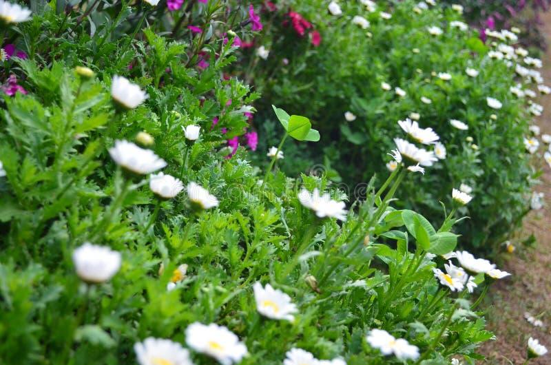 flores frescas de la margarita blanca fotografía de archivo