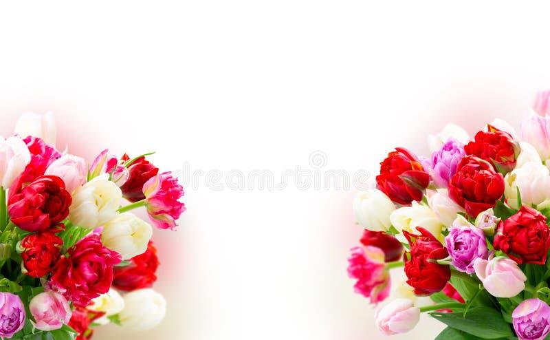 Flores frescas de los tulipanes imagen de archivo libre de regalías