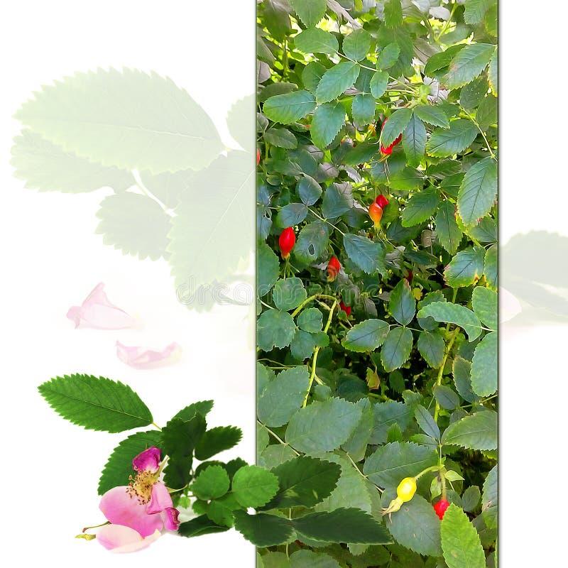 Flores frescas delicadas, pétalos y berrie del briar rosado que desmenuzan fotografía de archivo