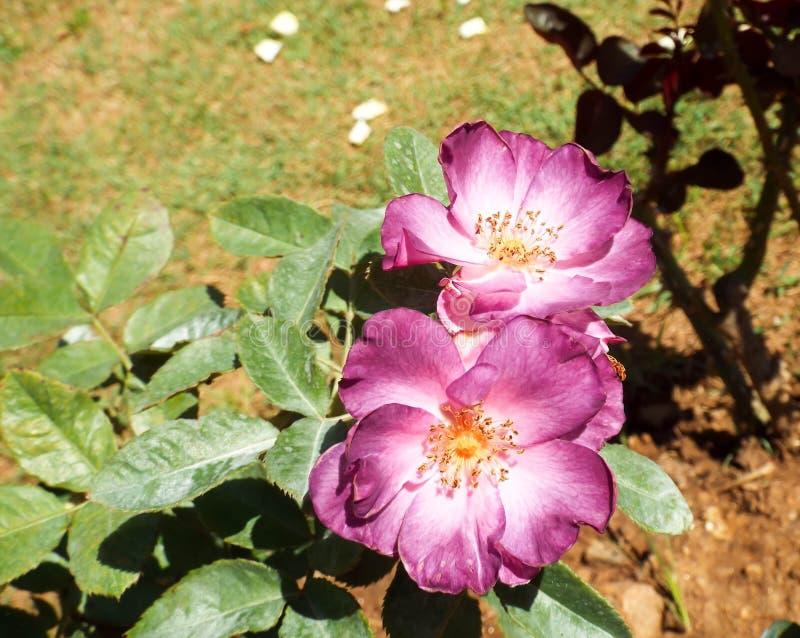 Flores frescas do jardim do jardim imagens de stock royalty free