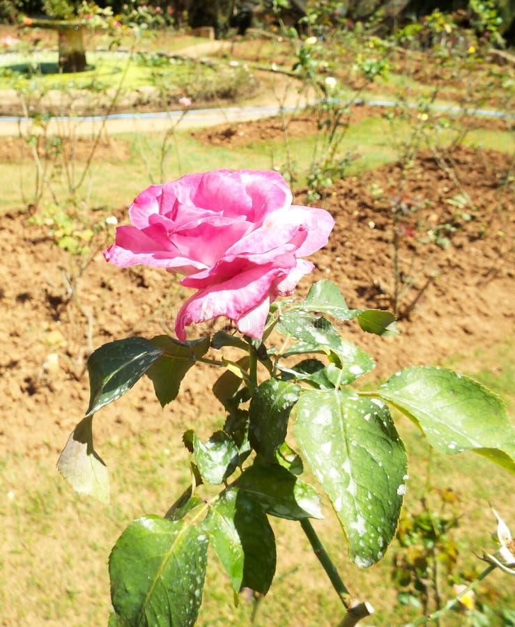 Flores frescas do jardim do jardim fotografia de stock