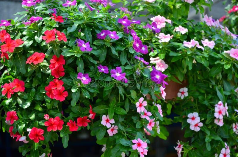 Flores frescas e brilhantes de pendurar potenciômetros da pervinca cor-de-rosa imagens de stock royalty free