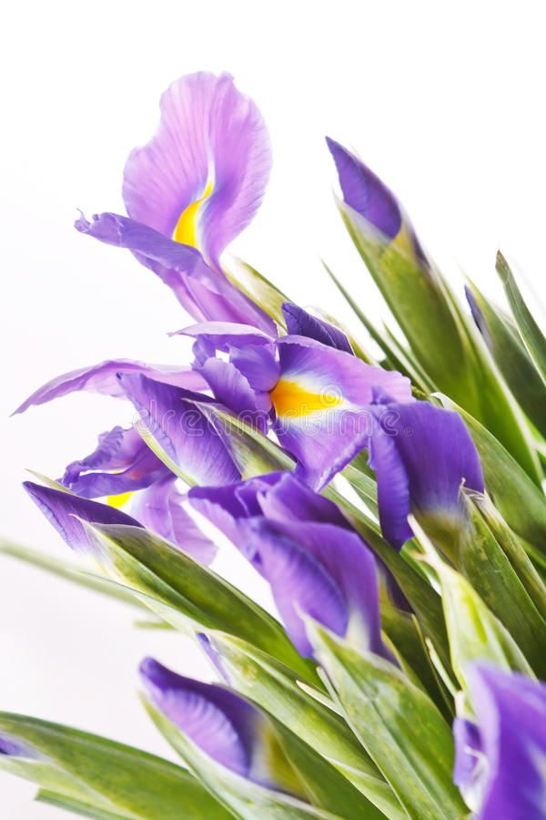 Flores frescas hermosas del iris fotografía de archivo