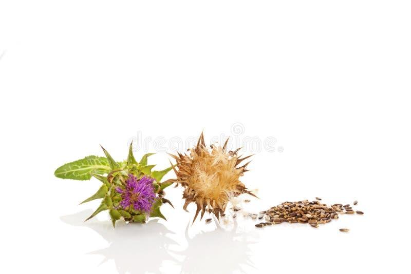 Flores frescas y de la leche en polvo del cardo con las semillas imágenes de archivo libres de regalías
