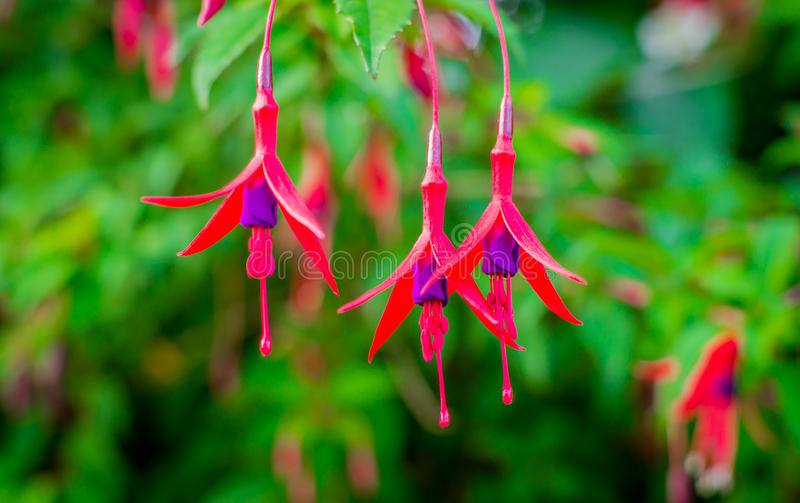 Flores fucsias imágenes de archivo libres de regalías