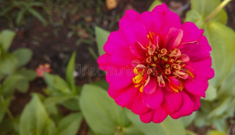Flores fucsias en jardín foto de archivo libre de regalías