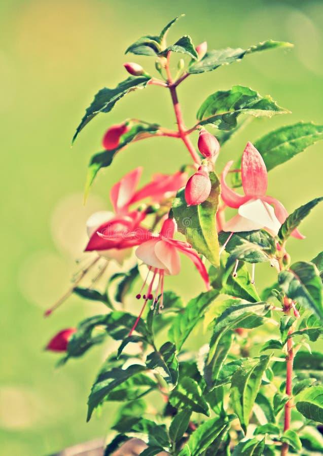 Flores fucsias rojas foto de archivo