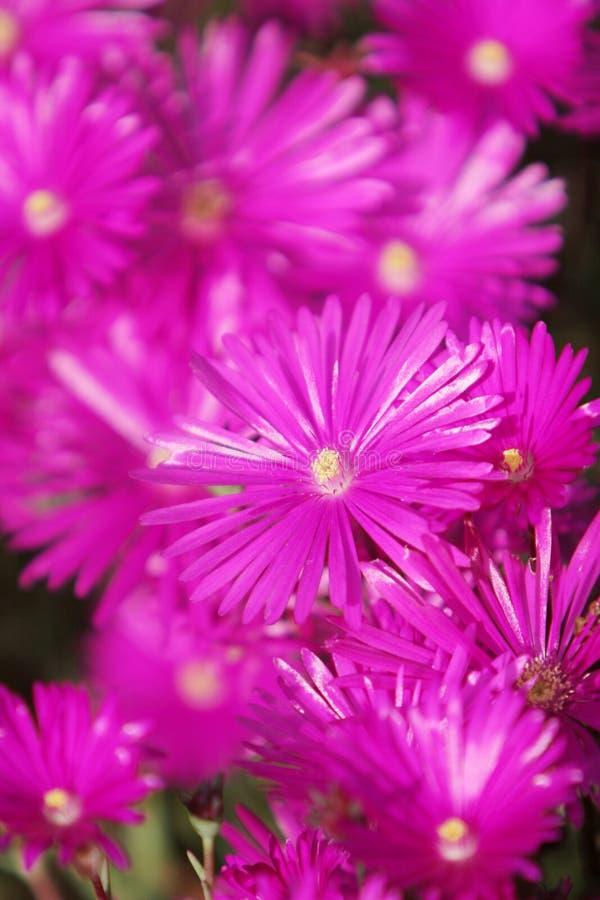 Flores fucsias rosadas hermosas foto de archivo libre de regalías
