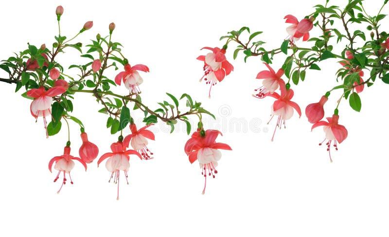 Flores fucsias sobre el fondo blanco foto de archivo
