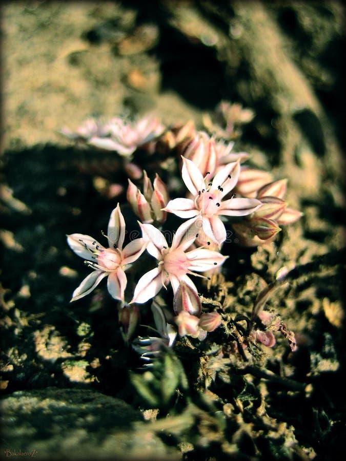 Flores fundo e papéis de parede do crassulaceae de Sedum em cópias de alta qualidade superiores imagens de stock royalty free