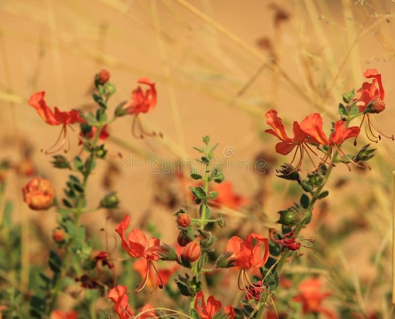 Flores, garra do gato - África vermelha imagem de stock