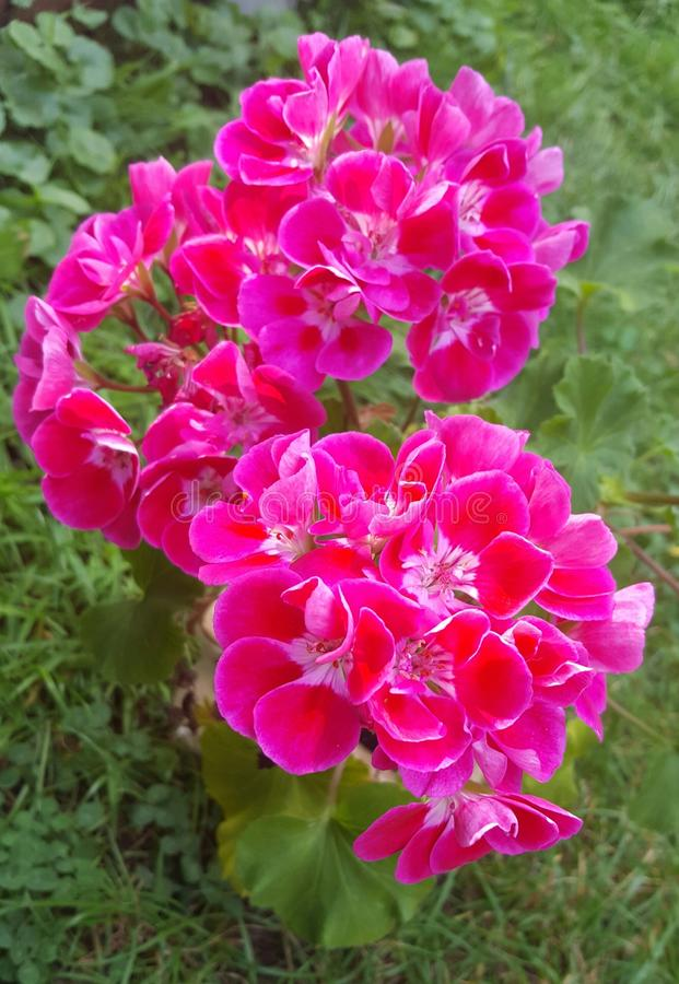 Flores Geraniacee foto de stock royalty free