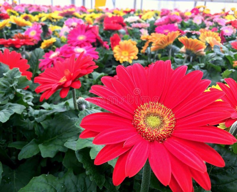 Flores Gerberas imágenes de archivo libres de regalías