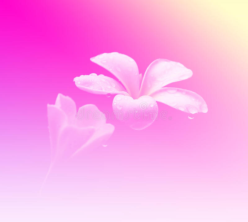 Flores gloriosas del frangipani o del plumeria, con colorido fotografía de archivo