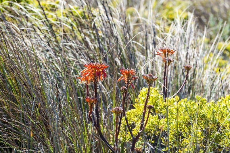 Flores, gramas e plantas alaranjadas do arbusto na grande estrada do oceano, Austrália foto de stock