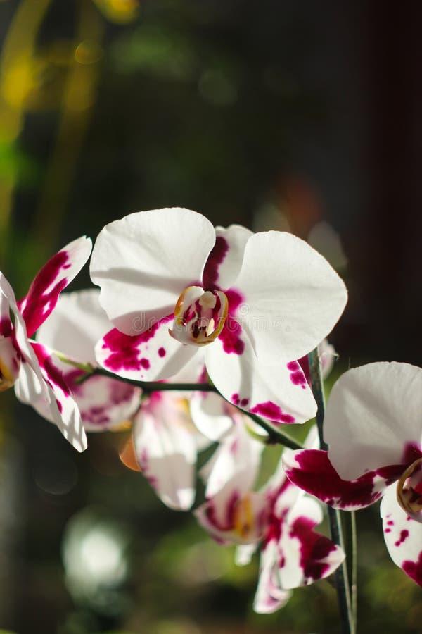 Flores grandes de la orquídea blanco-roja imagen de archivo libre de regalías