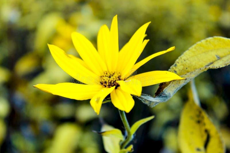 Flores grandes del otoño amarillo en una cama de flor fotos de archivo