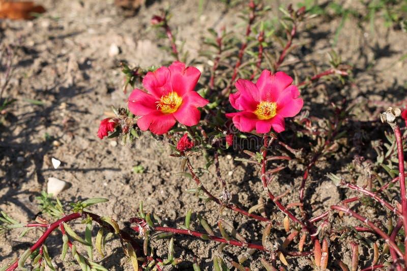 Flores grandiflora de Portulaca fotos de stock