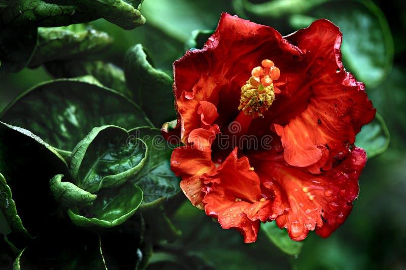 Flores havaianas fotografia de stock royalty free