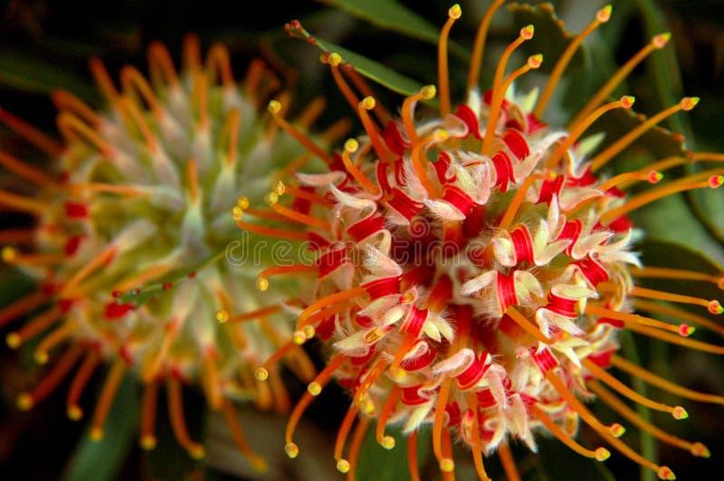 Flores hawaianas del Protea en la floración imagenes de archivo