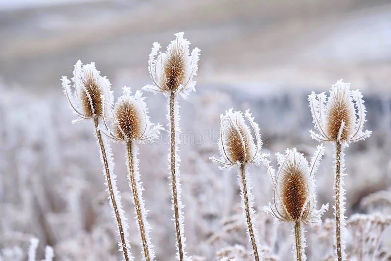 Flores heladas congeladas en invierno foto de archivo