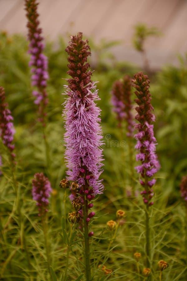Flores hermosas altas del Liatris de la estrella ardiente fotos de archivo libres de regalías