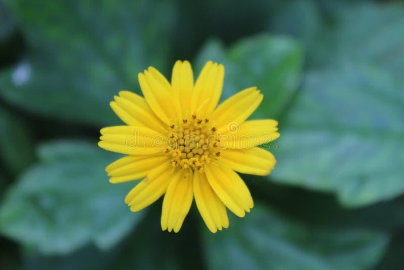 Flores hermosas amarillas foto de archivo libre de regalías
