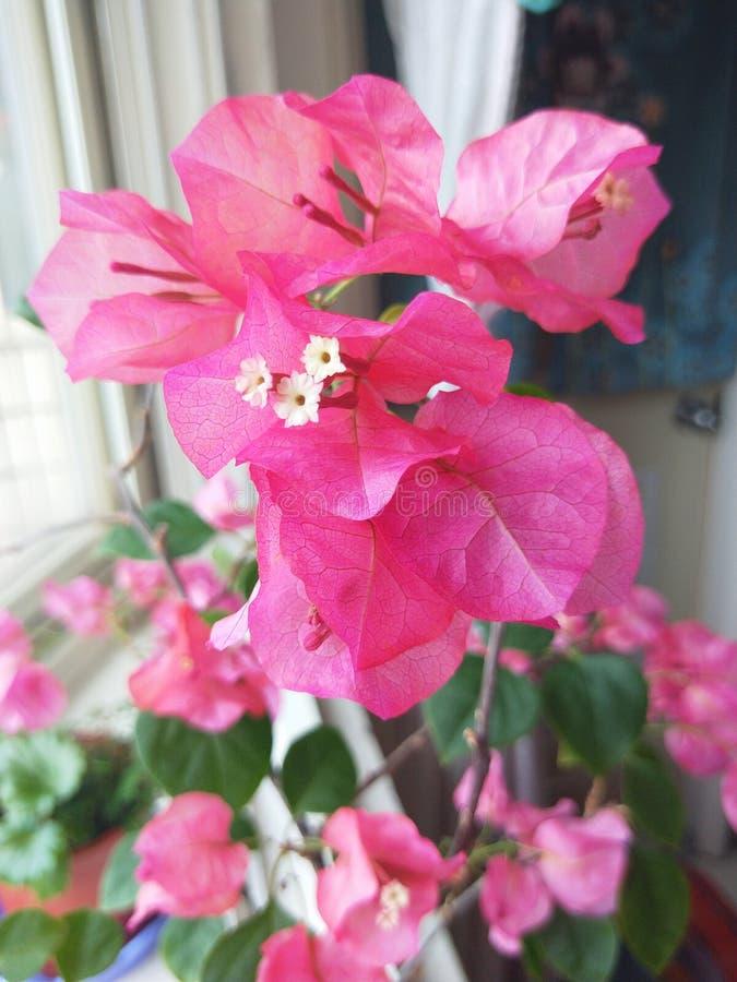 Flores hermosas con las hojas rosadas imagen de archivo libre de regalías