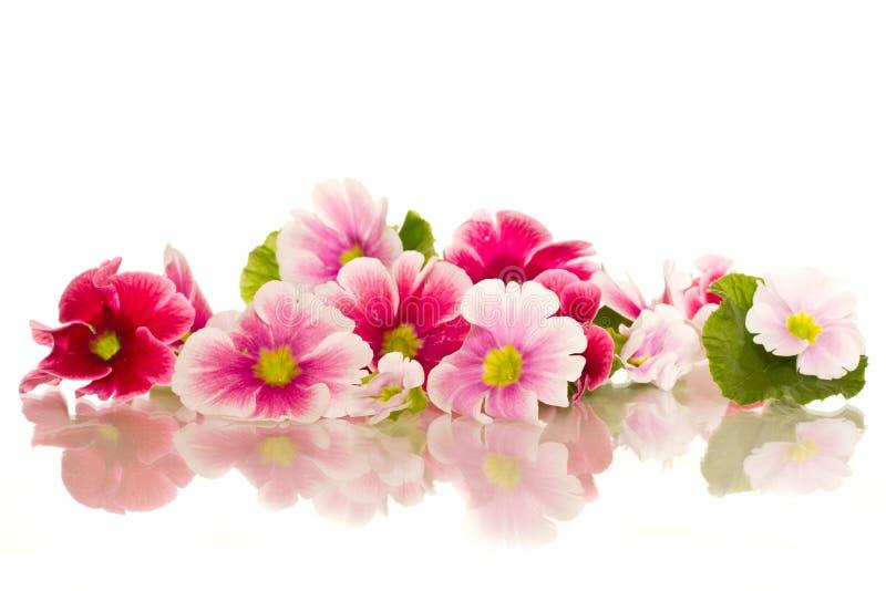 Flores de la begonia imagenes de archivo