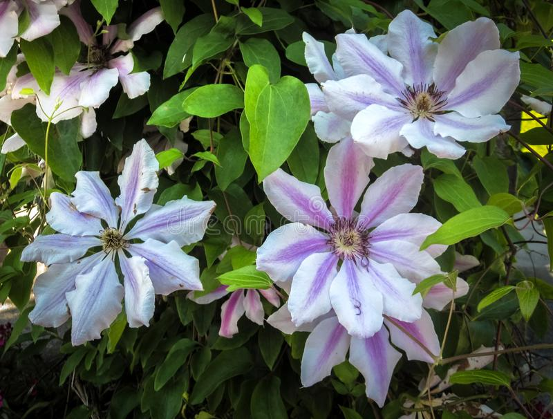 Flores hermosas de la clemátide blanca y púrpura imágenes de archivo libres de regalías