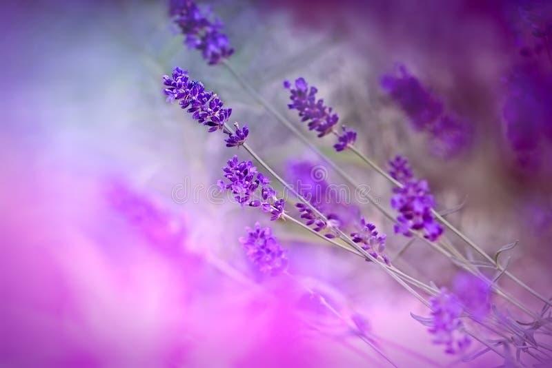 Flores hermosas de la lavanda foto de archivo libre de regalías