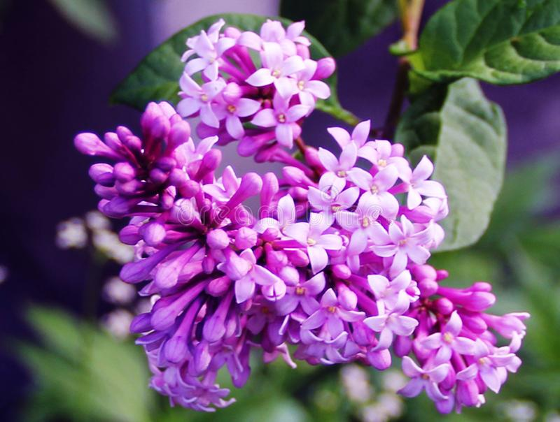 Flores hermosas de la lila en una rama fotografía de archivo