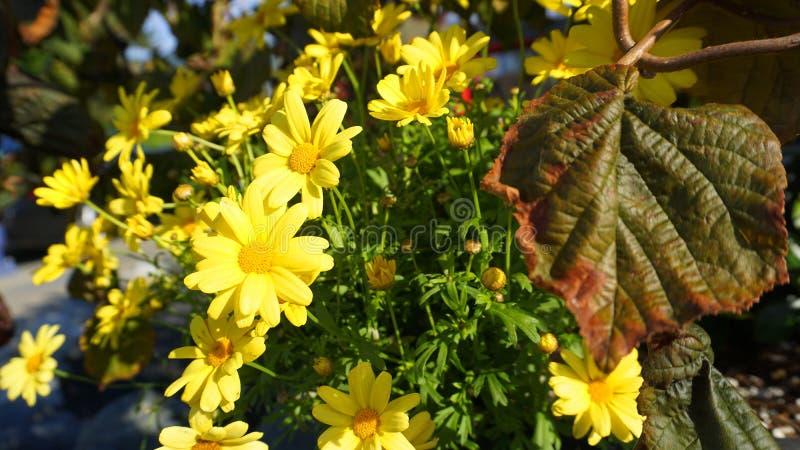 Flores hermosas de la manzanilla amarilla fotografía de archivo