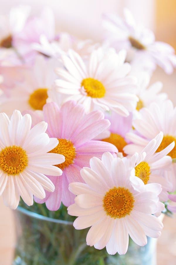 Flores hermosas de la margarita imagenes de archivo