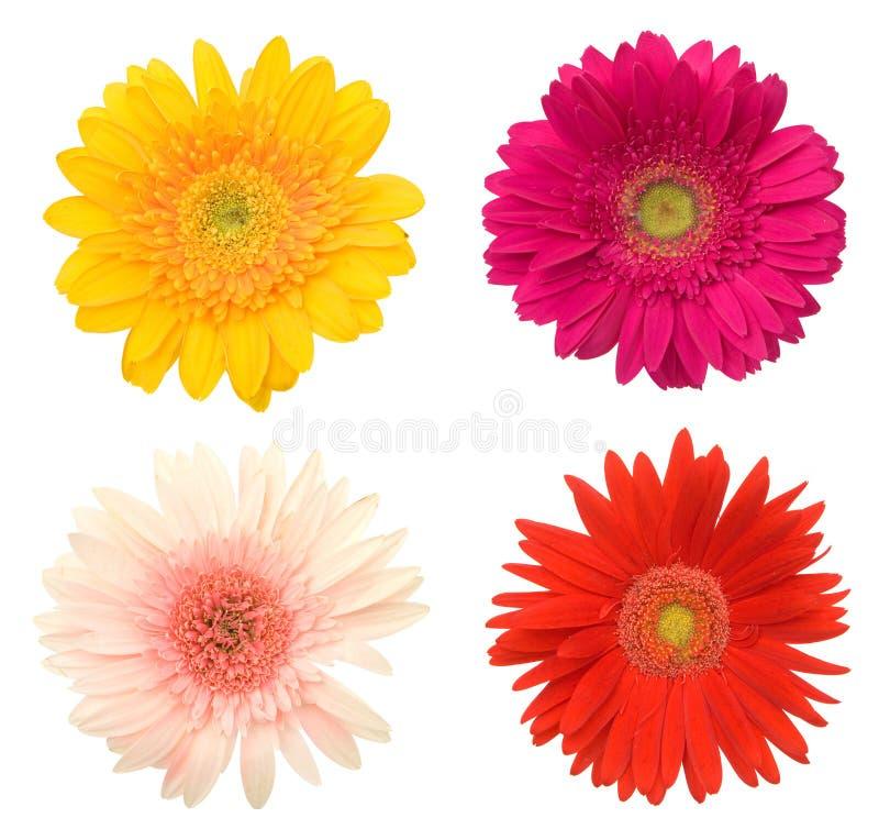 Flores hermosas de la margarita imagen de archivo