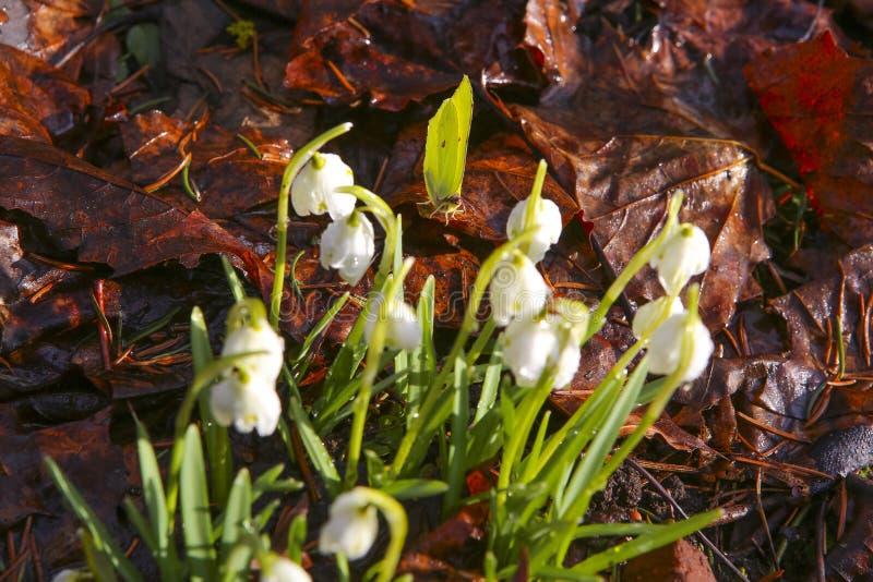 Flores hermosas de la mariposa y del snowdrop contra las hojas caidas marrones en primavera temprana imagen de archivo libre de regalías