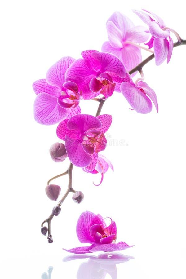 Flores hermosas de la orquídea del Phalaenopsis fotografía de archivo
