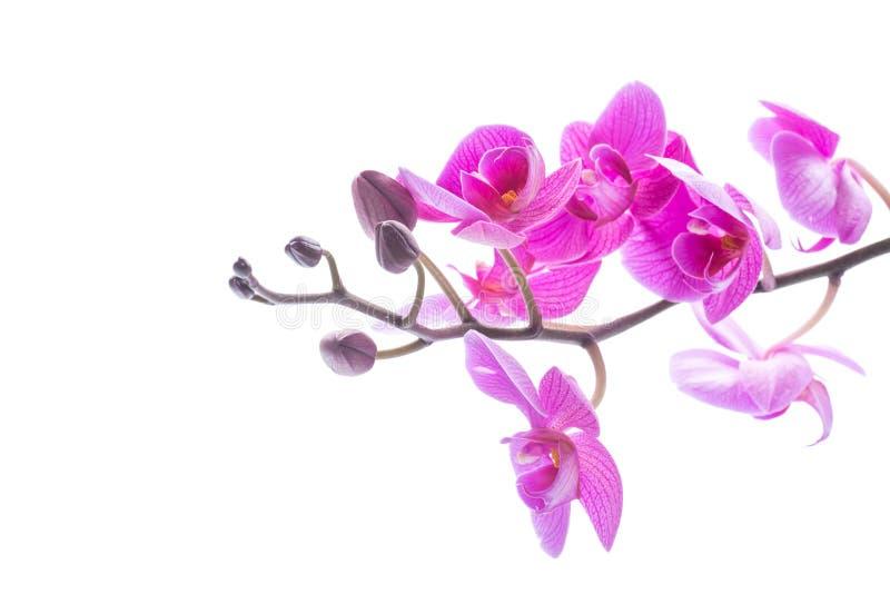Flores hermosas de la orquídea del Phalaenopsis fotos de archivo libres de regalías