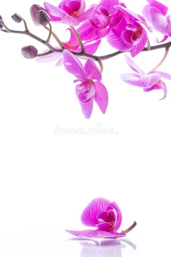 Flores hermosas de la orquídea del Phalaenopsis fotos de archivo
