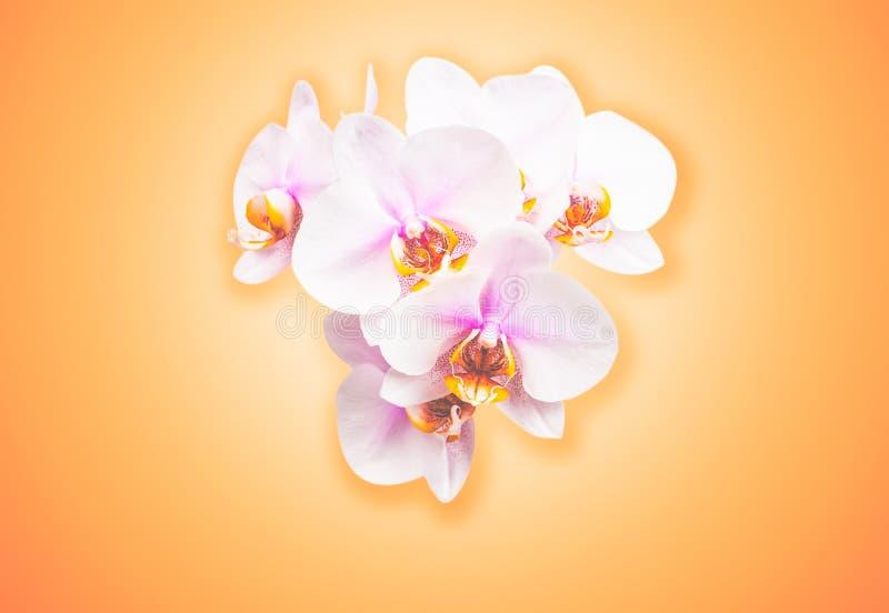 Flores hermosas de la orquídea Fondo del color del melocotón con el espacio de la copia fotografía de archivo libre de regalías