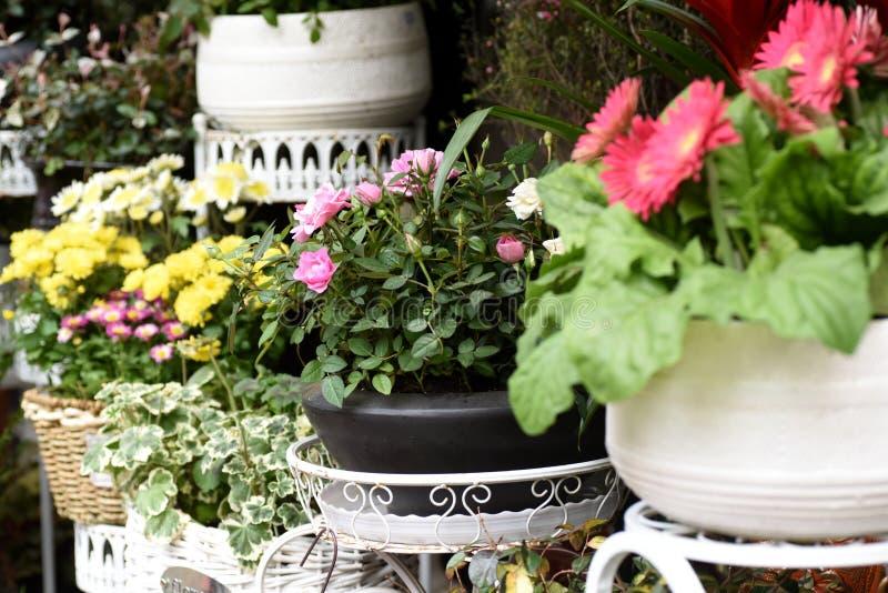 Flores hermosas de la primavera en maceta foto de archivo
