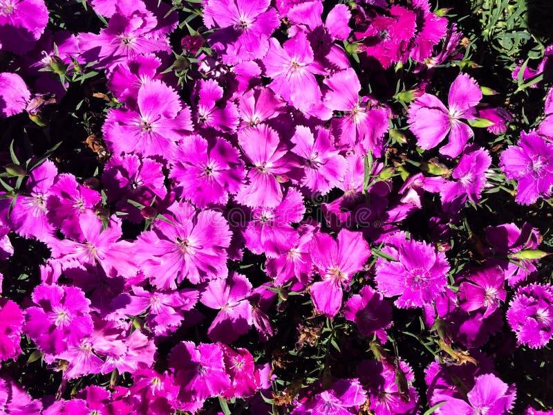 Flores hermosas de la viola imagenes de archivo