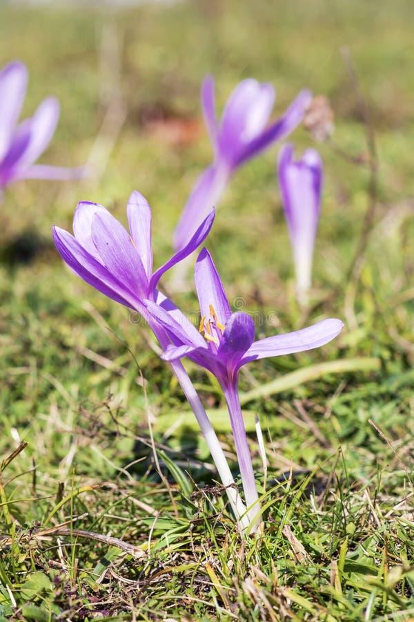 Flores hermosas de la violeta del chrysanthus del azafrán de la primavera imágenes de archivo libres de regalías