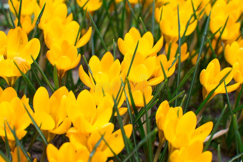 Flores hermosas de las azafranes en jardín Azafranes amarillas de las flores de la primavera Cierre para arriba Fondo del resorte imagen de archivo