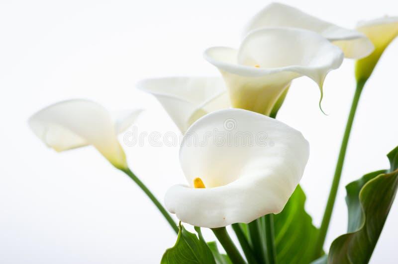 Flores hermosas de las calas con la hoja aislada en el fondo blanco fotografía de archivo